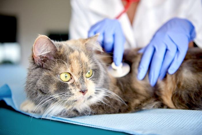 ¿Qué es el asma felina?
