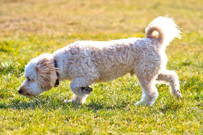 Cómo detener a su perro de comer caca