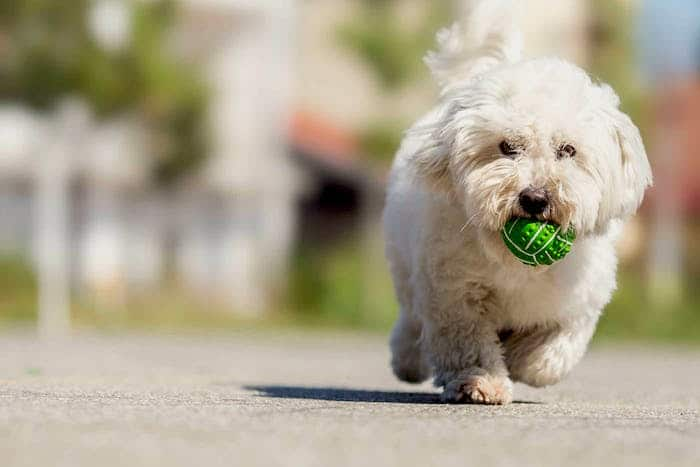 Wie Sie Ihrem Hund das Spielen beibringen, um den Ball wiederzugewinnen