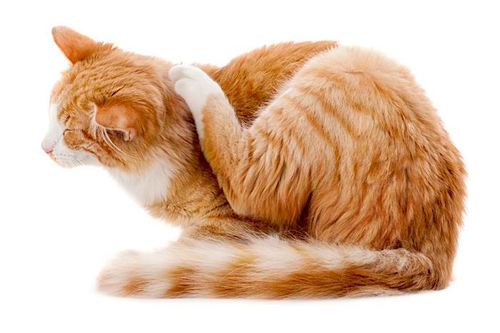 Trastornos compulsivos en gatos