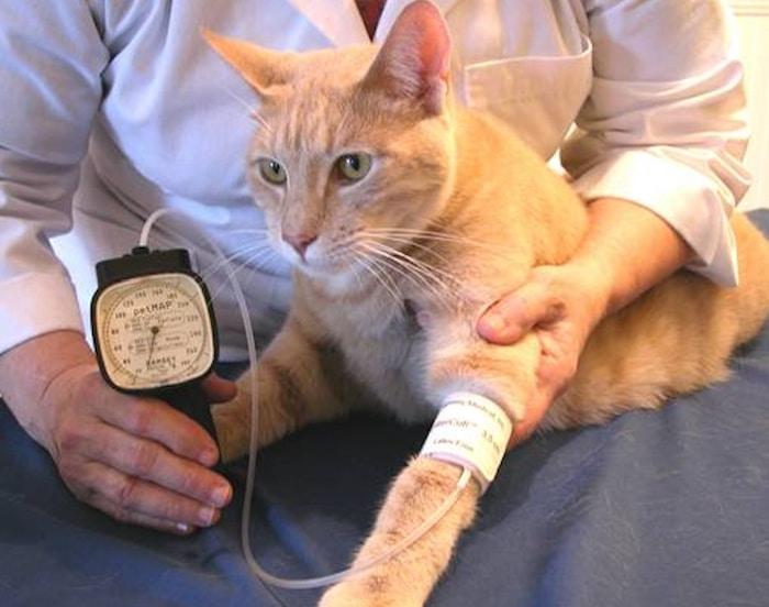 Hipertensión felina