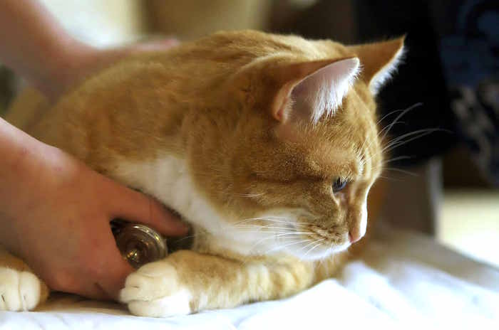 Miocardiopatía hipertrófica felina