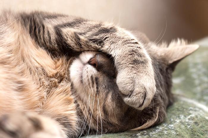 L-lisina no es útil en la infección por el virus del herpes en gatos