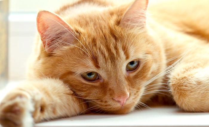 Señales sutiles de que tu gato no está bien