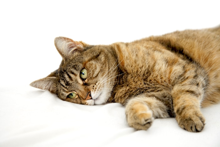 Anorexia felina