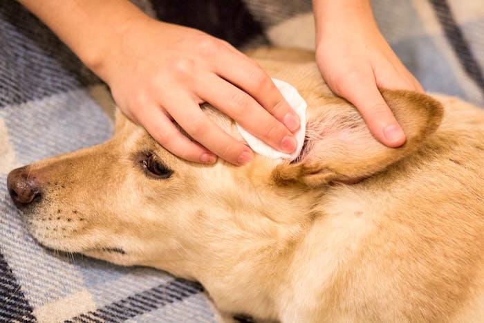 Cómo cuidar las orejas de tu perro