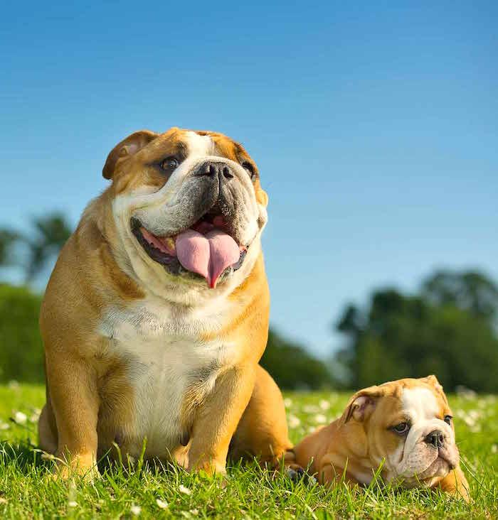 Mejora para mejorar el Bulldog inglés