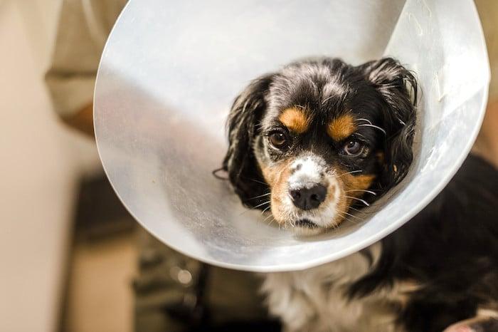 Cómo cuidar a su mascota después de la cirugía