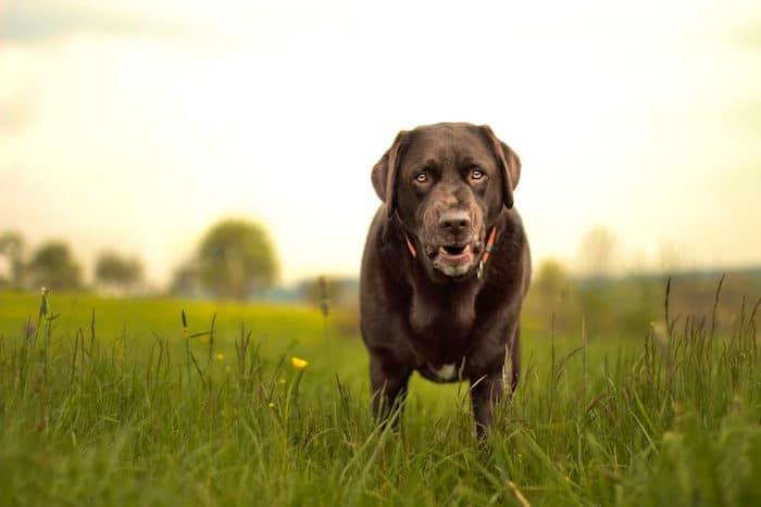 Enfermedades óseas en perros jóvenes