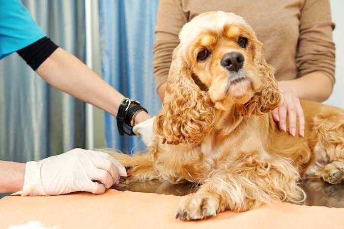 Enfermedades mortales prevenibles comunes en perros