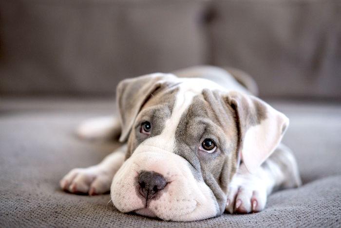 Síntomas del gusano pulmonar en perros