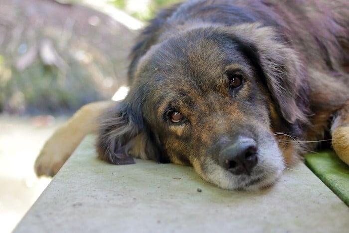 Cómo saber si su mascota tiene dolor