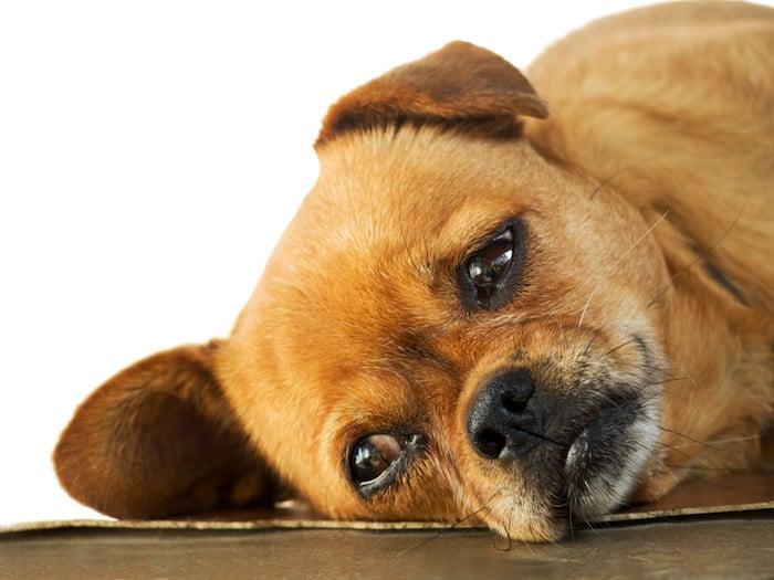 10 síntomas en perros que nunca debes ignorar