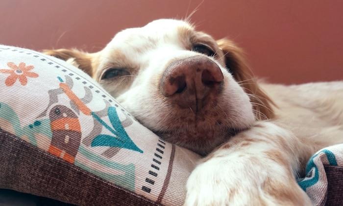 Trasplantes de médula ósea canina