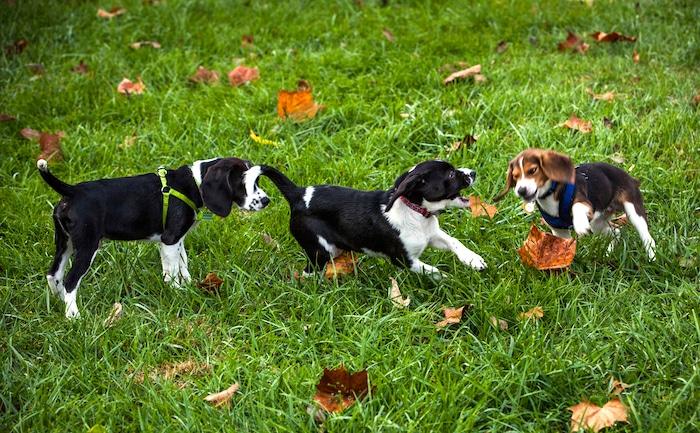 Fertilización in vitro en perros