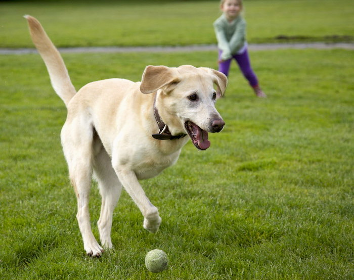 Osteosarcoma canino