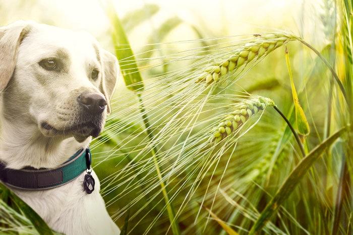Cómo prevenir la enfermedad de semillas de césped en perros