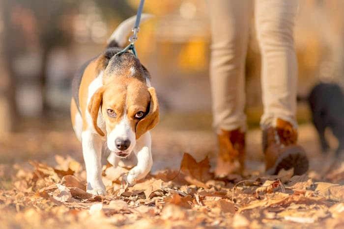 Espondilosis deformes en perros