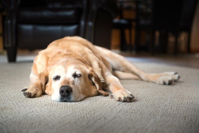Cómo reconocer si su perro tuvo un derrame cerebral