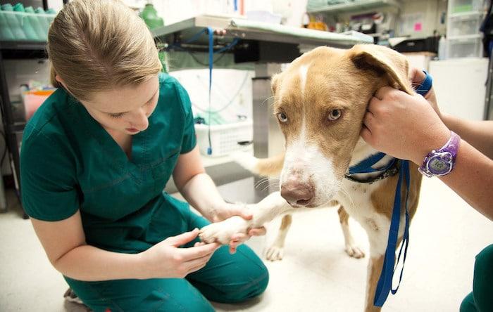 Las diferencias entre una enfermera veterinaria y un asistente veterinario