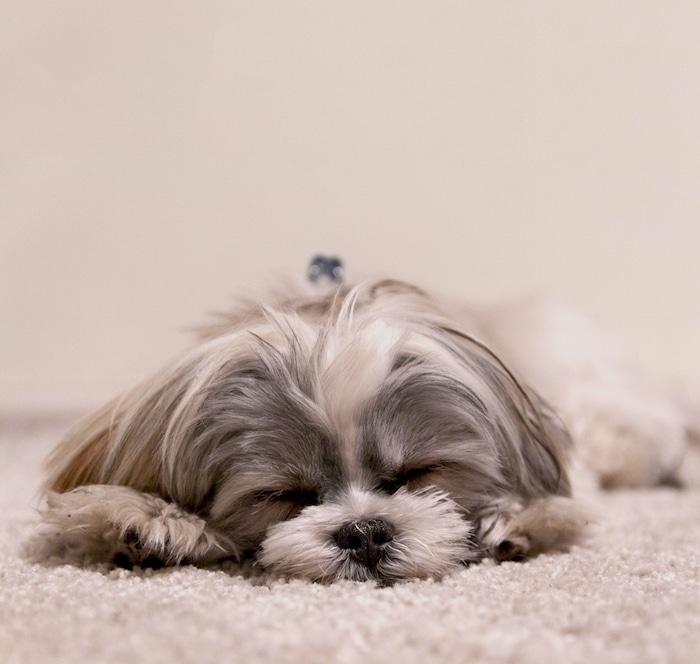 Narcolepsia canina