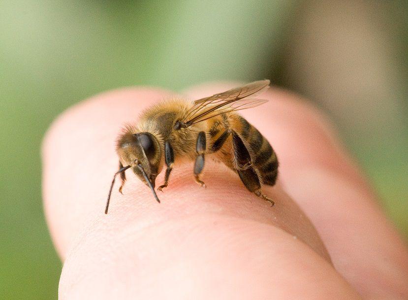 Picadura de abeja, remedio casero