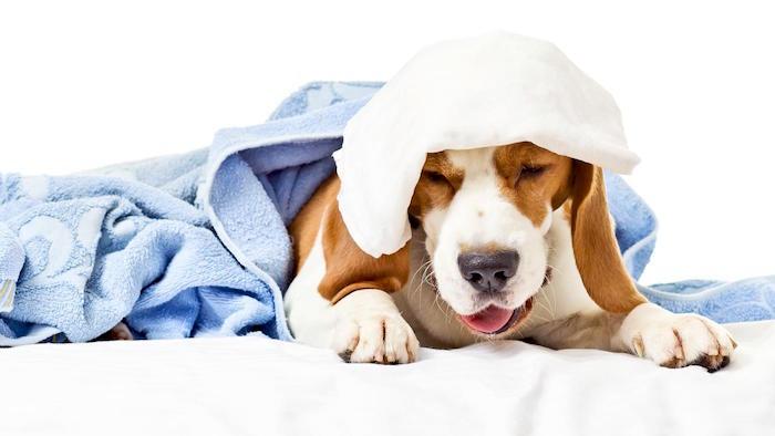 El tratamiento casero para la tos de las perreras