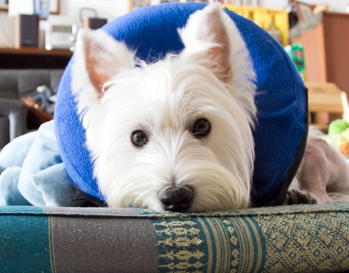 Cirugía para la luxación de la rótula en los perros