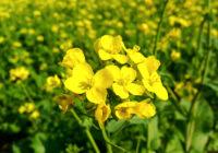 Beneficios para la salud de la planta de mostaza