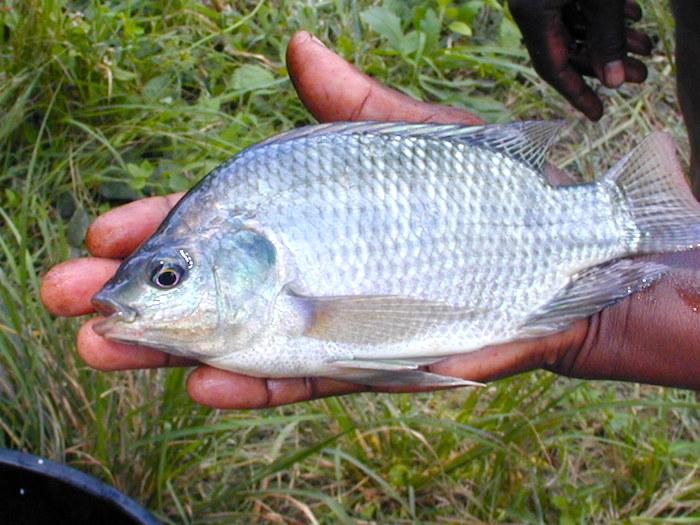 Beneficios de pescado Tilapia