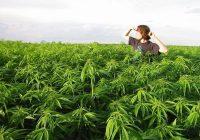 Marihuana de uso medicinal