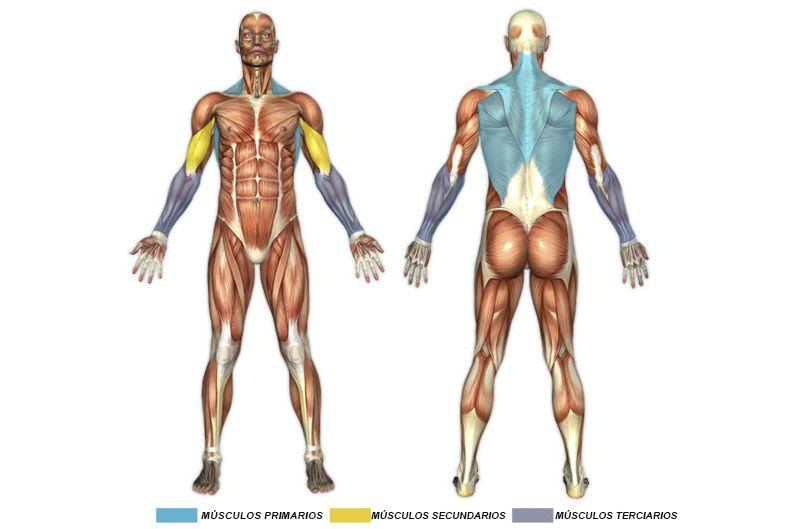 Grupos do músculo humano