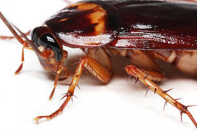 """S�, las cucarachas suponen un riesgo real para la Salud: �Qu� debe hacer para deshacerse de una infestaci�n"""""""