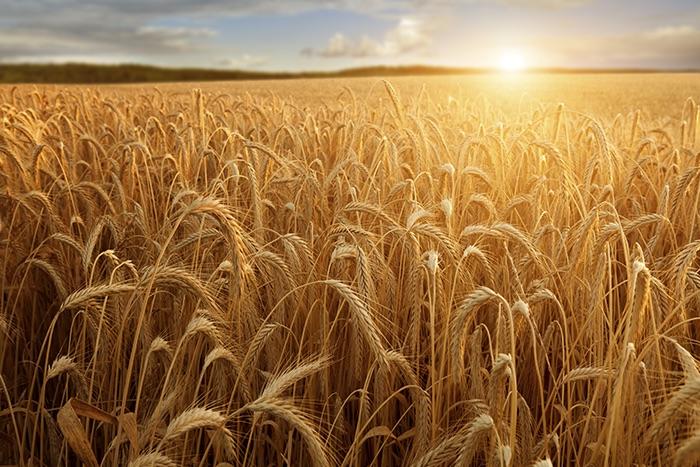 Os prós e contras de comer trigo