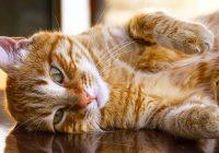 ¿Por qué mi gato tiene un extraño comportamiento felino? Explicación