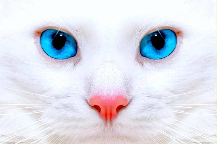 Cat Scratch kuge