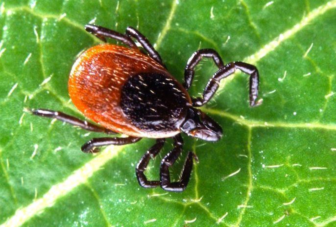 A largo plazo el uso de antibióticos no tuvo el éxito en el manejo de la enfermedad de Lyme