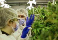 Décontamination du cannabis: ce que les amateurs de marijuana négligent