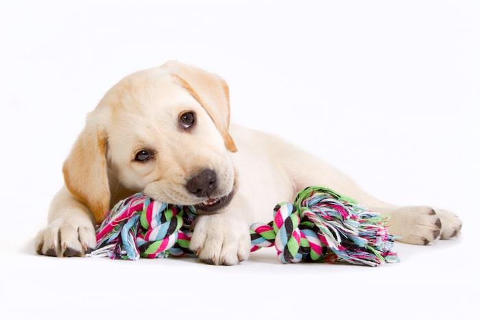 Problemas más comunes de salud en Labradores