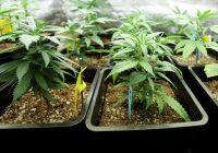 اضطراب القلق الاجتماعي وإدمان الماريجوانا: مخاطر استخدام الأعشاب الضارة في الرهاب الاجتماعي