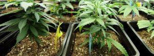 Socialna anksiozna motnja in marihuane zasvojenosti: tveganja, ki jih lahko uporabite plevela za socialna fobija