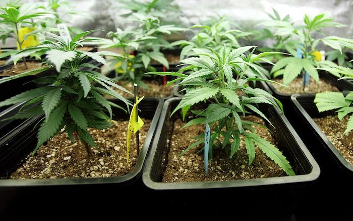 Trouble d'anxiété sociale et la dépendance de la marijuana: les risques de l'utilisation de mauvaises herbes pour la phobie sociale