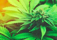 Desintoxicación natural de malezas: cómo hacer frente a los síntomas de abstinencia de marihuana con hierbas