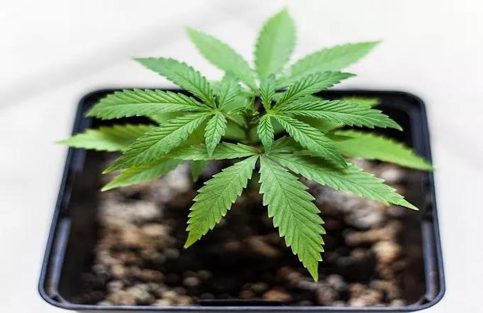 Marihuana lahko lajšanje bolezni jeter