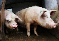 Sintomas da gripe suína: o que as pessoas precisam saber