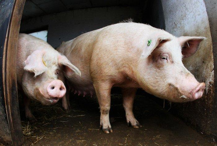 Síntomas de la gripe porcina: lo que la gente necesita saber