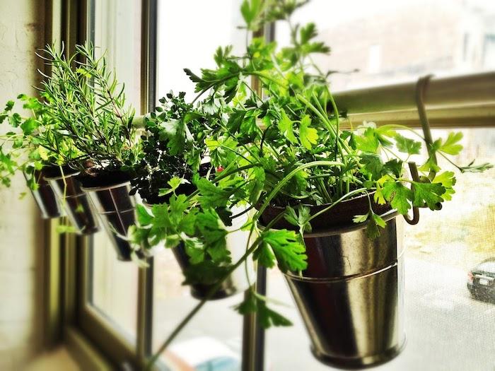 Ervas em casa: ervas cultivadas em um vaso de janela