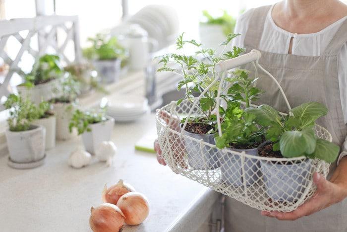 My Garden of Eden: أعشاب 11 التي يمكن أن تنمو في مطبخك