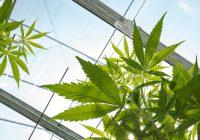 大麻有助于增加肌肉质量吗?