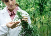 Utilisation de la marijuana chez les diabétiques